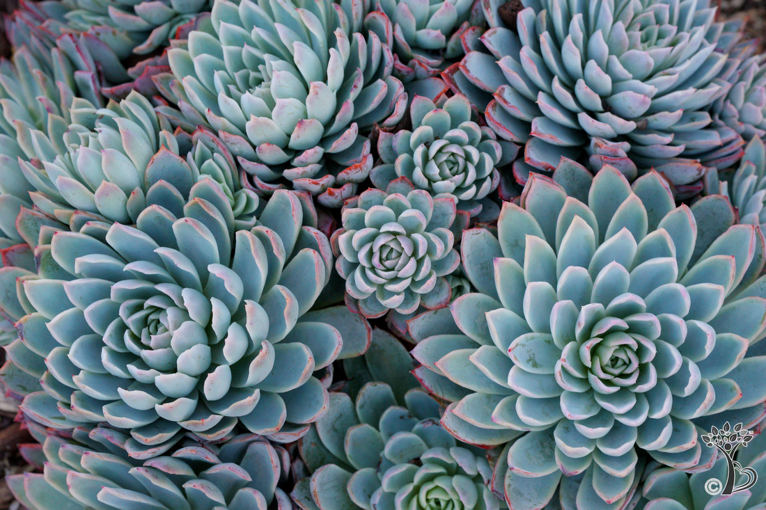 Beautiful echeveria cluster. Adorn your walls with art on canvas, acrylic, wall clings, metal, archival prints, framed & matted prints and more!