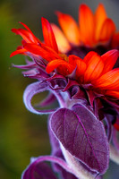 Red Sunflower w Purple Stem & Green Background