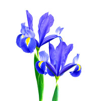 Blue & Purple Irises Isolated on White