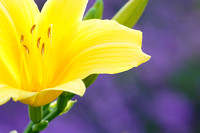 Yellow Day Lilly Presented on Purple