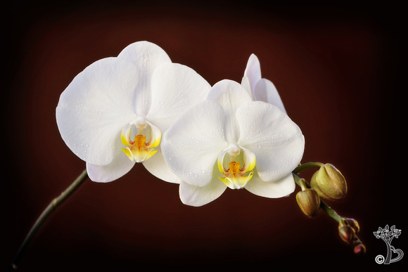 The most highly coveted of ornamental plants, the delicate, exotic and graceful orchid represents love, luxury, beauty and strength. In ancient Greece, orchids were associated with virility.